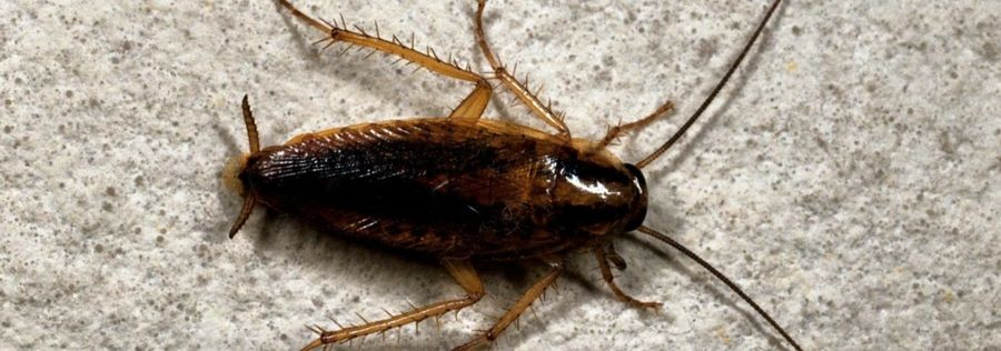 Как справиться с тараканами самостоятельно